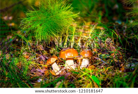 Mushrooms in forest grass. Autumn forest mushroom family closeup. Autumn forest mushroom view. Mushrooms in autumn forest