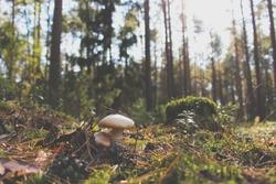 Mushrooms in the autumn forest. Cortinarius caperatus (gypsy mushroom)