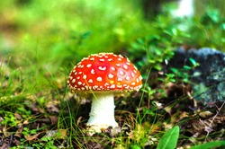 mushrooms in the forest, fly agaric, poisonous mushroom