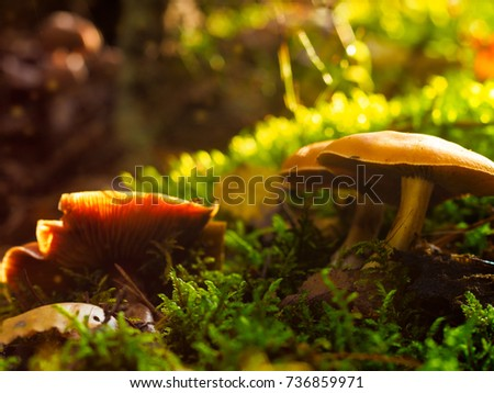 Mushrooms in the forest on the green grass in the autumn morning. #736859971