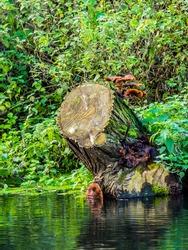 Mushrooms on tree stump in river