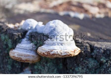 mushrooms or fungus on a tree.close up #1337396795