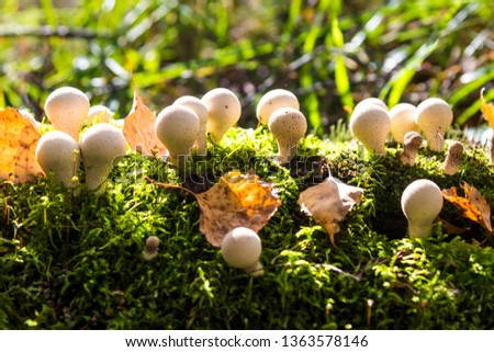 Mushrooms puffballs (fuzz-balls) in the moss on the fallen tree trunk