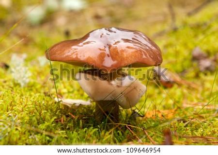 Mushrooms (Suillus variegatus) in autumn forest