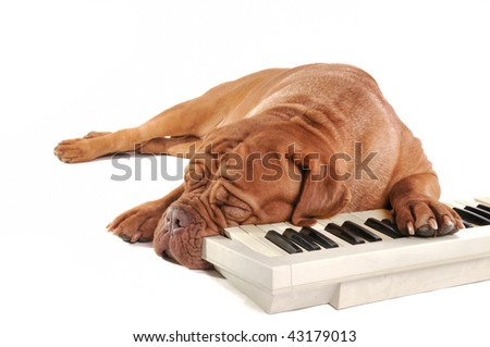 Musician dog sleeping after long rehearsals