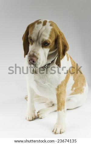 Musing Beagle