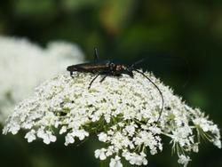 Musk beetle (Aromia moschata) - longhorn greenish metallic beetle on a white wild carrot flower, Gdansk, Poland