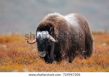 Musk ox in a autumn landscape, dovrefjell, norway, (ovibos moschatus)