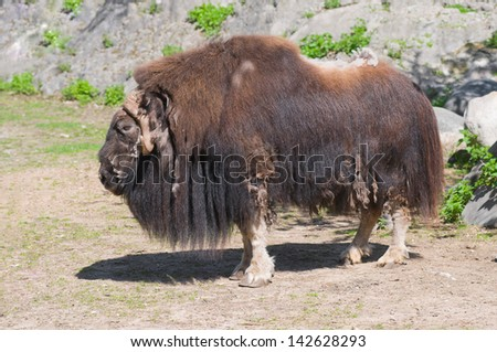 Musk ox, or musk-ox (Latin Ovibos moschatus) - the only member of the genus modern muskoxen (Ovibos) from the family of bovids.
