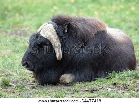 musk ox (Ovibos moschatus)