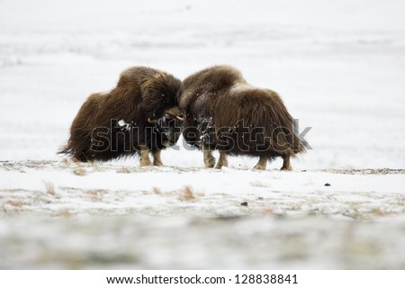 Musk-ox pair in Norge in Dovrefjell Nation Park