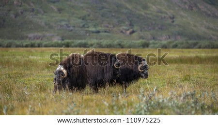 Musk oxen in arctic tundra, Greenland
