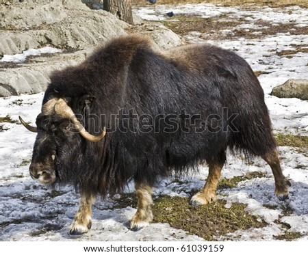Muskox walking on snow, winter - early spring. Recorded in Moscow zoo.