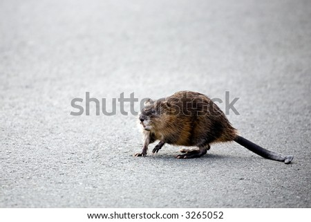 muskrat crossing the road to the other side of a lake in yellowstone national park. also referred to as a musquash or ondatra zibethicus.