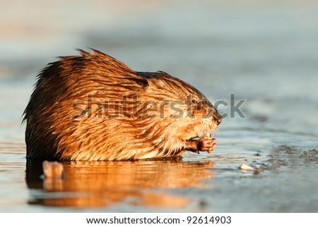 Muskrat ( Ondatra zibethica ) eats, lit up by light of the coming sun