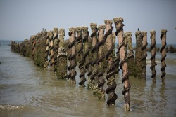 Mussel farm at Saint-Quentin-en-Tourmont, Somme, Hauts-de-France, France near Quend-Plage. We can see baby mussles on bouchots (vertical posts as mussels' bed). Picture taken on July.