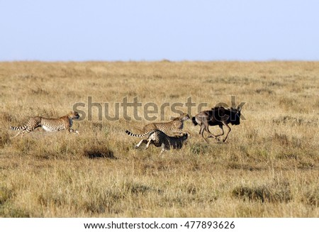 Mussiara along with cubs hunting the wildebeest #477893626