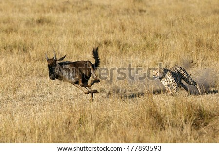 Shutterstock Mussiara Cheetah chasing a wildebeest