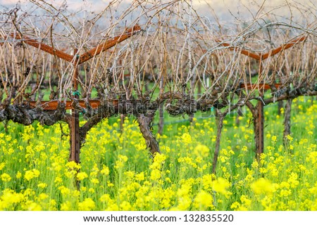 Mustard bloom in vineyard, Napa, California, USA