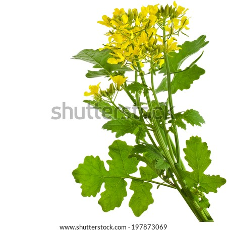 Mustard blooming plant ( Brassica nigra)  isolated on white background #197873069