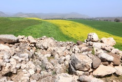 Mustard field blooming. Stony hill covered with yellow flowers and green grass. Upper Galilee. Bible landscape. Israel