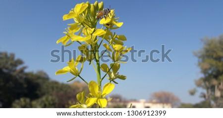 Mustard Flower also known as Sarson Flower having sky in background