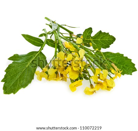 Mustard Flower blossom, Canola or Oilseed Rapeseed, close up , isolated on white background