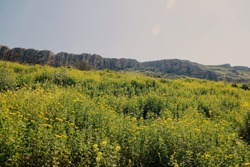 Mustard flower meadow with rugged hills in the distance
