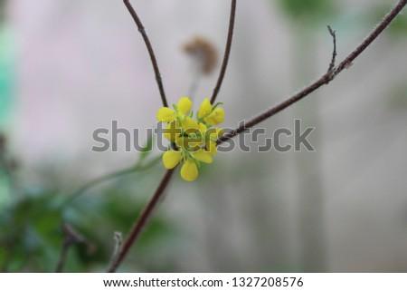 Mustard flower pic.
