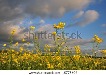 Mustard flowers in a field blowing around in a strong wind at dusk.