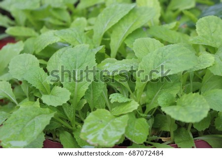 Mustard greens, a kind of vegetables #687072484