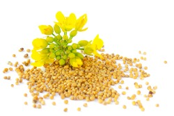 Mustard plant with yellow flowers and seeds. Sinapis plant yellow blossom. Mustard seeds and fresh mustard flowers isolated on white background. Rapeseed flower and canola isolated on white.