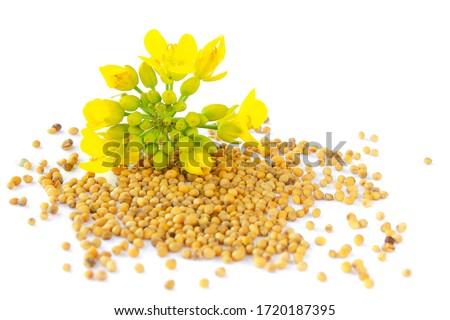 Mustard plant with yellow flowers and seeds. Sinapis plant yellow blossom. Mustard seeds and fresh mustard flowers isolated on white background. Rapeseed flower and canola isolated on white. Сток-фото ©