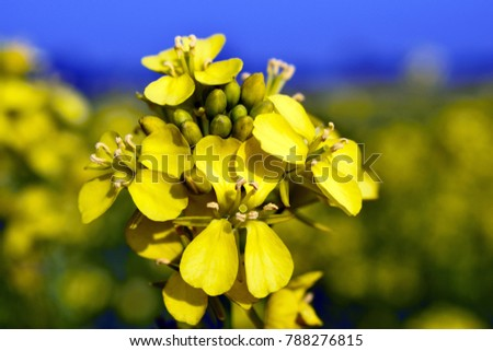 Mustard plants are any of several plant species in the genera Brassica and Sinapis in the family Brassicaceae. Mustard seed is used as a spice.