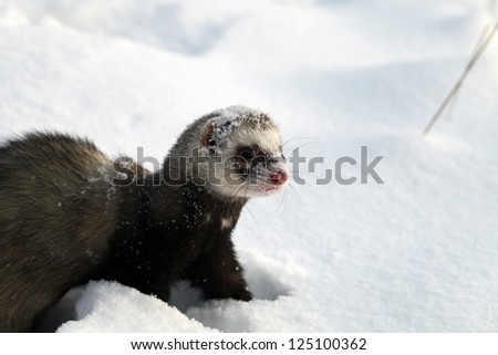 Mustela putorius furo, walking in the snow