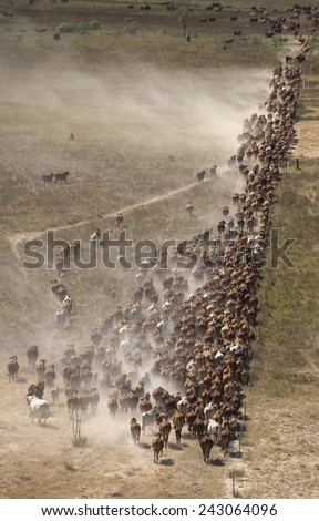 mustering braham cattle on  the flood plains near the gulf of carpentaria North Queensland.