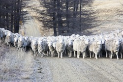mustering sheep in the South Island of New Zealand