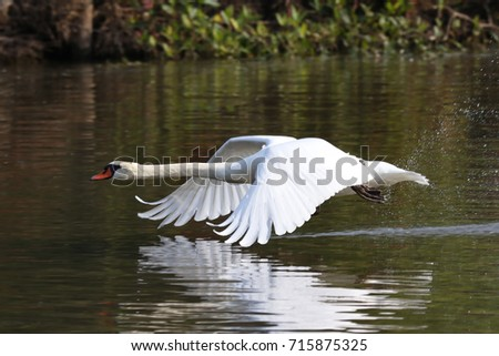 Mute Swan #715875325