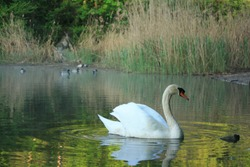 Mute swan and ducks in the background. Taken in Prater, Vienna. The lake used to be a billabong of the Danube river.