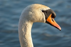 Mute swan, close-up on the head and beak, sunny day