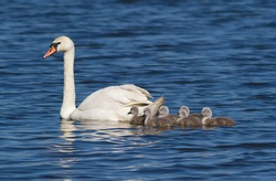 Mute swan, cygnus olor. Adult bird, female and brood of chicks
