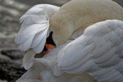 Mute Swan (Cygnus olor) Adult in breeding condition preening feathers.