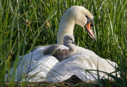 Mute Swan, Cygnus Olor, Adult In Reed Bed With Small Cygnet Sitting On Her Back. Taken at Stanpit Marsh UK