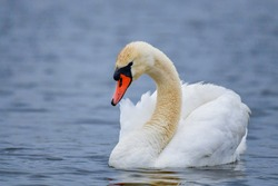 Mute Swan - Cygnus olor, beautiful large white water bird from European lakes and fresh waters, Hortobagy, Hungary.