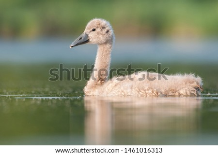 Mute swan (Cygnus olor) duckling, amazing duck from a beautiful pond, Czech Republic