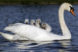 Mute swan, Cygnus olor, Female with young on back, London, May 2012