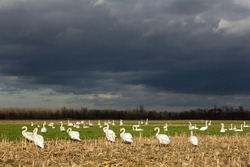 Mute swan (Cygnus olor) flock feeding and resting in harvested fields on winter afternoon with dramatic sky before the rain, geese family birds in the fields