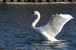Mute swan (Cygnus olor) flopping its wings.