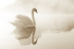 Mute swan (Cygnus olor) gliding across a mist covered lake at dawn