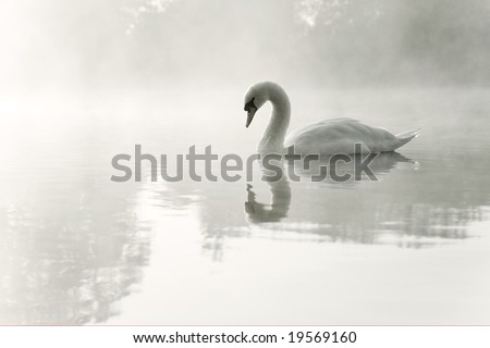 Mute swan (Cygnus olor) gliding over mist covered lake